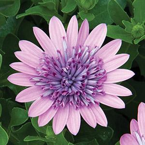 Osteospermum 3d Pink Pplostpin 2020 - Garden Express Australia