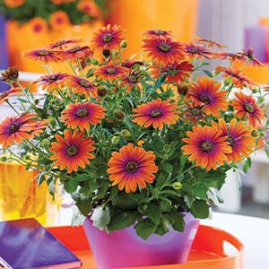 Osteospermum Purple Sun Pplostpsu 2020 - Garden Express Australia