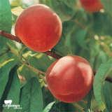 Peach Okeedokee