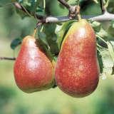 Pear Corella