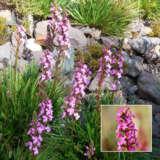 Stylidium Pink-a-saurus