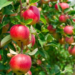 apple tree plant in spring