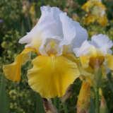 Bearded Iris Breezes