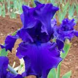 Bearded Iris Titans Glory