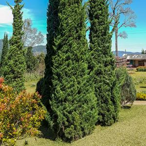 Conifer Spartan Juniper Lpoconsju - Garden Express Australia