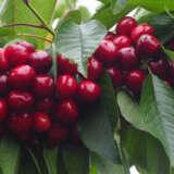Dwarf Cherry Lapins