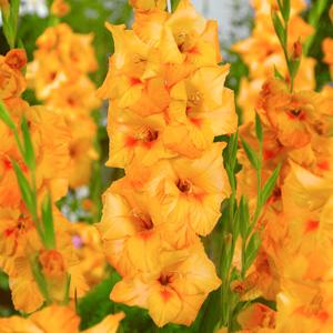 Gladioli Copper Queen Pkglacqu - Garden Express Australia