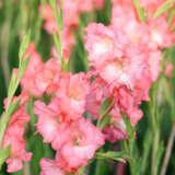 Gladioli Rose Supreme