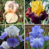Gurus Bearded Iris Collection 2 – 4 Plants