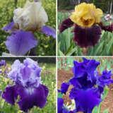Gurus Bearded Iris Collection 3 – 4 Plants
