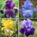 Gurus Bearded Iris Collection 4 – 4 Plants