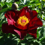 Itoh Peony Scarlet Heaven