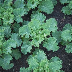 Herb Kale
