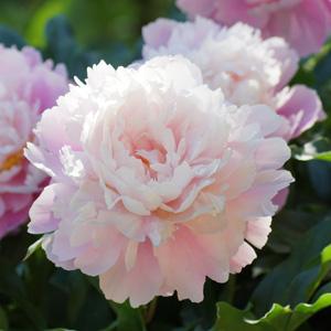 Peony Rose Marguerite Gerard