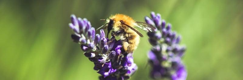 Lavender Growing Guide