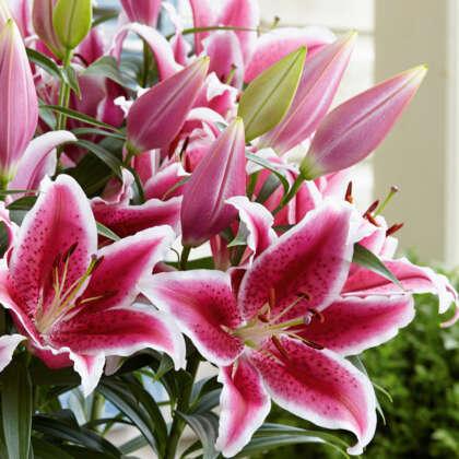 Lilium Star Romance 2021 Pklilsro - Garden Express Australia