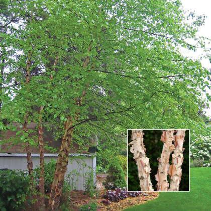Tropical Birch