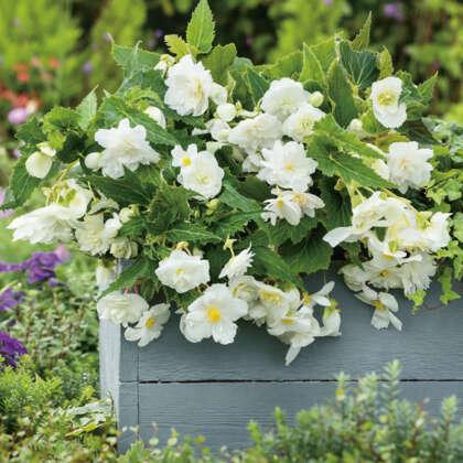 Begonia Illumination Apple Blossom White