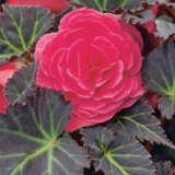 Begonia Mocca Deep Pink