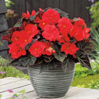Begonia Mocca Red