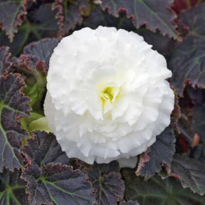 Begonia Mocca White