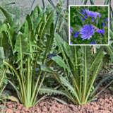 Herb Chicory