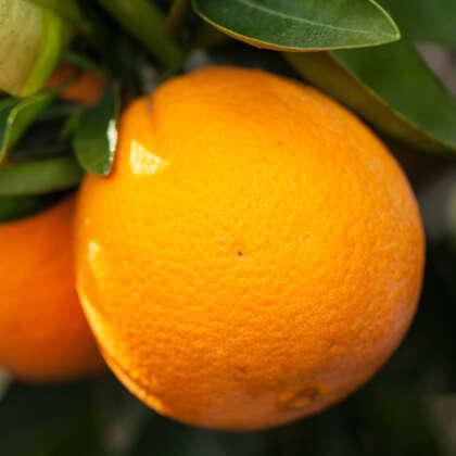 Dwarf Orange Washington Navel