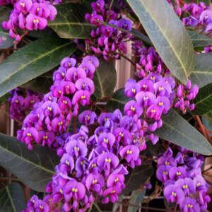 Hardenbergia Regent Lpoharreg - Garden Express Australia