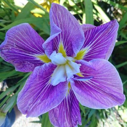 Japanese Iris Beni Tsubaki