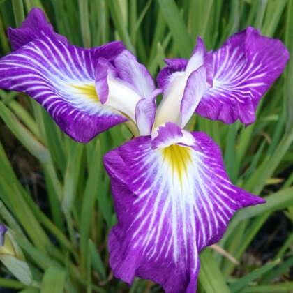 Japanese Iris Sopi No Roi