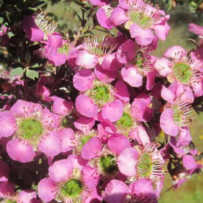 Leptospermum Seclusion (pbr)