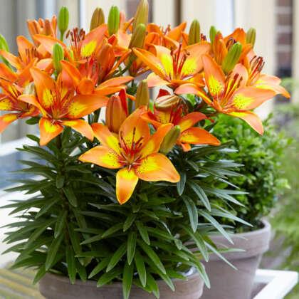 Pot Lilium Bright Joy