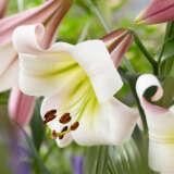 Oriental Trumpet Lilium Eastern Moon