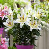 Oriental Pot Lilium Golden Romance