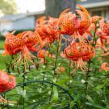 Lilium Lancifolium Splendens