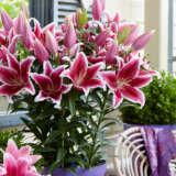 Oriental Pot Lilium Star Romance