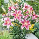 Oriental Pot Lilium Stargazer