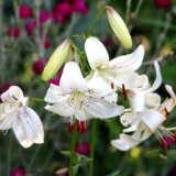Lilium White Twinkle