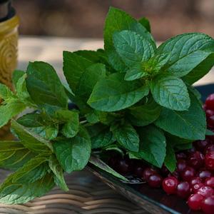 Herb Mint Basil