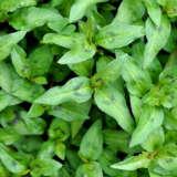 Herb Mint Vietnamese