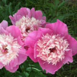 Peony Rose Pink Twinkle
