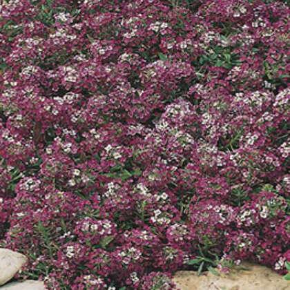 Seed – Alyssum Royal Carpet