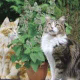 Seed – Cat Mint