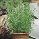 companion plant for dahlia
