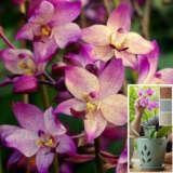 Spathoglottis Far Out Freckles With Bonus Orchid Pot