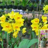 Spathoglottis Lemon Kiss With Bonus Orchid Pot