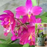 Spathoglottis Rockin Plum With Bonus Orchid Pot