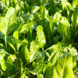Herb Spinach Perpetual