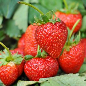 Strawberry Strawberry Redlands Joy (pbr)