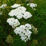 Herb Yarrow White